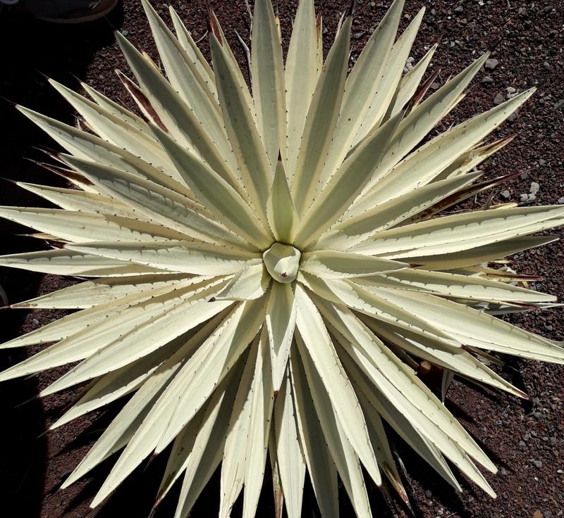 cactus cacti garden
