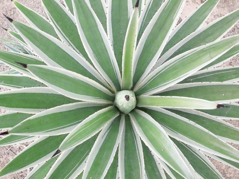cactus cacti nursery