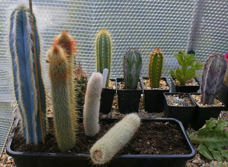 cacti cactus offset propogation