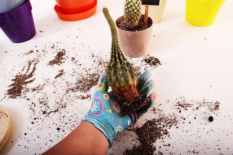 Re-potting a cactus - a good compost is required to give free draining conditions. Key care and cultivation
