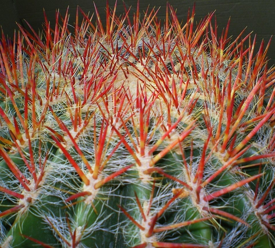 Cacti Spines